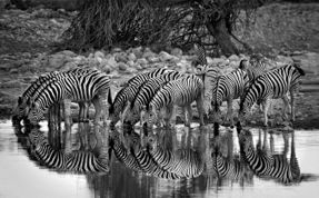 Zebras and reflection